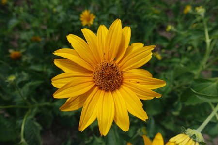 Amber yellow flower of Heliopsis helianthoides in June
