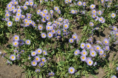 Erigeron speciosus in full bloom in June