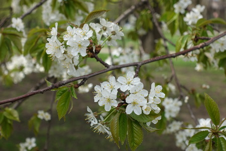 Diagonal branch of blossoming cherry in spring