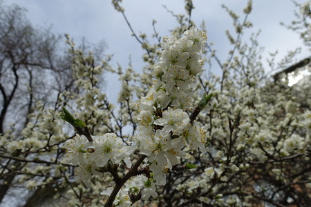 Erect branch of blossoming cherry against cloudy sky Imagens
