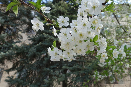 Florescence of sour cherry tree in spring Imagens - 124727620