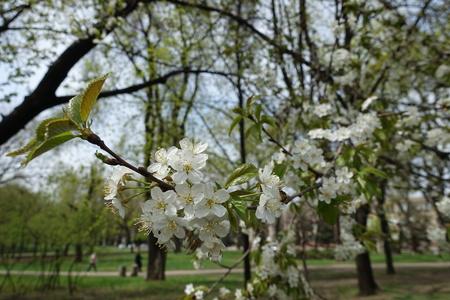Flowering branch of cherry tree in spring garden Imagens