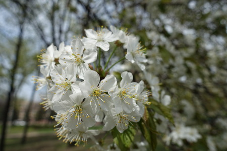 Fully opened white flowers of cherry tree in spring