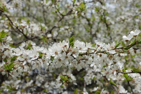 Horizontal branch of blossoming cherry tree in spring Imagens - 128516510