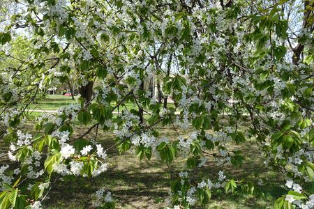 Lots of white flowers on branches of cherry tree in spring Imagens