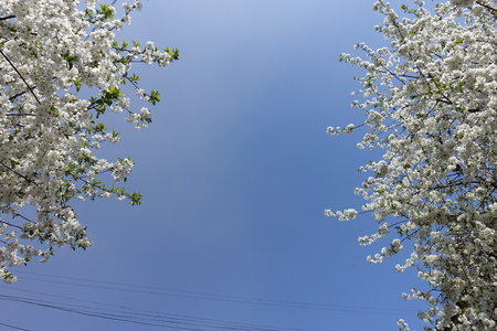 Pair of blossoming cherry trees against blue sky