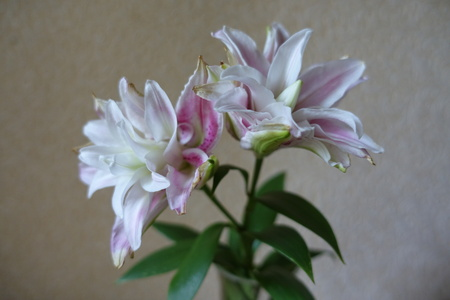 Pastel pink and white flowers of double oriental lilies