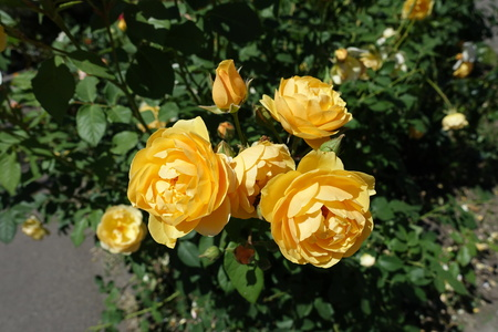Amber yellow flowers of rose in June Imagens