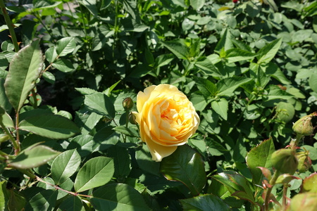 Flower of amber yellow rose cultivar in May 写真素材 - 122763867