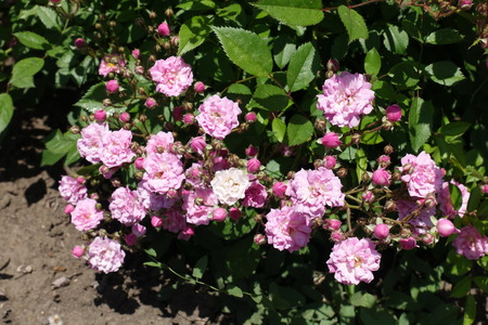 Lots of pink flowers and buds of rose Stock Photo