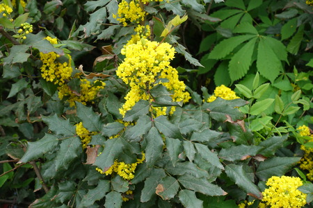 Holly grape with bright yellow flowers in spring Banco de Imagens