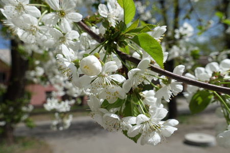 Peduncles with white cherry blossom in spring