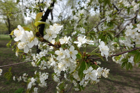 Plenty of white flowers on branches of cherry tree in spring Imagens