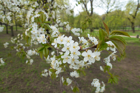 Pure white flowers on branch of cherry tree in spring Imagens