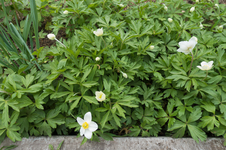 Snowdrop anemone with white flowers in the garden Imagens - 124727690