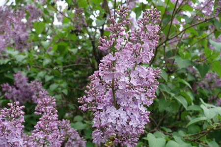 Flowers of common lilac arranged in dense panicle