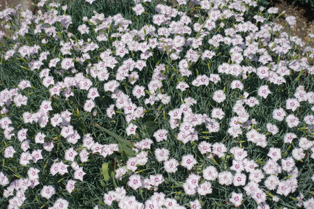 Lots of white flowers of garden pink in May 免版税图像