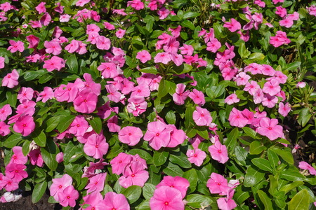 Tender pink flowers of Catharanthus roseus in July Imagens
