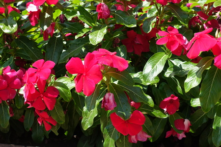 Close view of red flowers of Catharanthus roseus in August