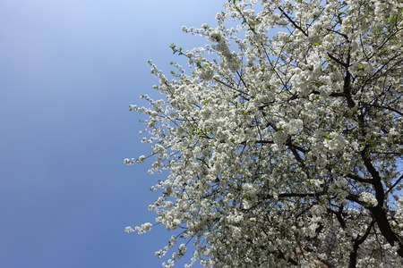 Sky above blossoming cherry tree in spring