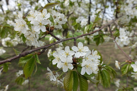 Slanted branch of blossoming cherry tree in spring