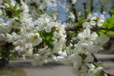 Sour cherry branch in full bloom in spring