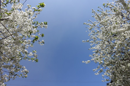 Space between two blossoming cherry trees