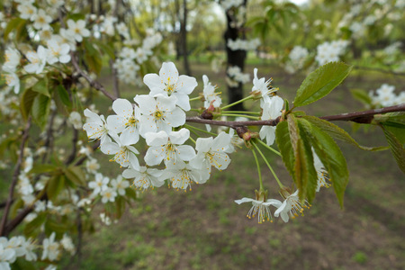 Stalks with white flowers on branch of cherry in spring