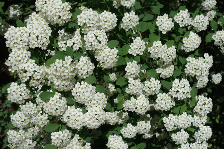 Background - white flowers of Spiraea vanhouttei in May Stock Photo