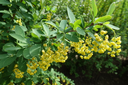 Long panicles of yellow flowers of common barberry in spring Фото со стока