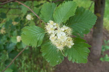 Simple white flowers of Sorbus aria in spring