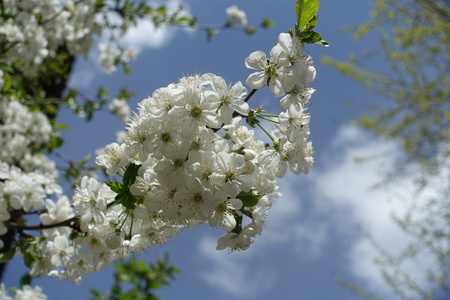 Twig of blossoming cherry against the sky in spring