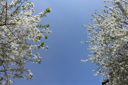 Two blossoming cherry trees against blue sky Imagens - 122764285