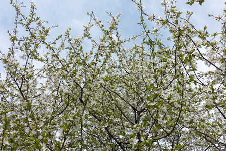 Upright branches of blossoming cherry tree against cloudy sky Imagens
