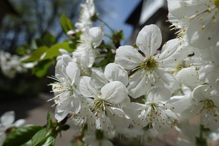 View of cherry blossom at close range Imagens