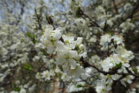 White flowers on branches of cherry tree in spring Imagens