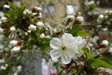 Yellowish stamens and white petals of cherry flower