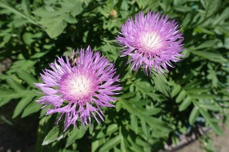 Pair of mauve flower heads of Centaurea dealbata