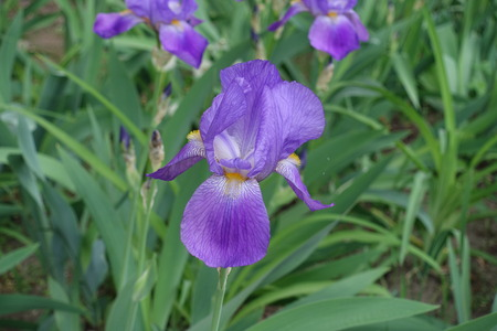 Closeup of violet flower of Iris germanica in spring