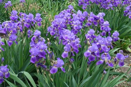 Great number of violet flowers of Iris germanica in spring Imagens