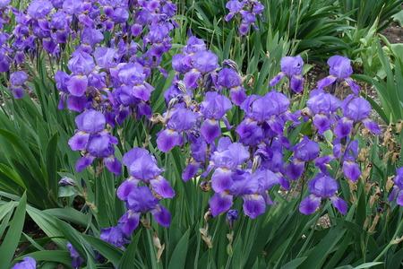 Many violet flowers of Iris germanica in spring