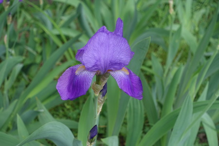 One violet flower of Iris germanica in spring Imagens