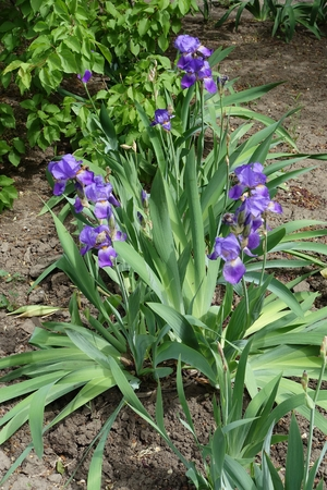 Clumps of bearded irises with violet flowers_