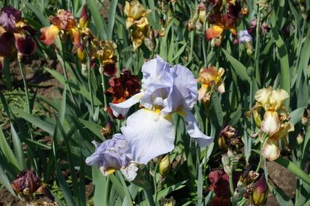 Pale blue flower of German iris in May