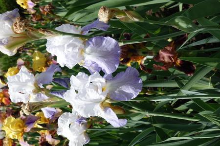 Pale violet flowers of German irises in May