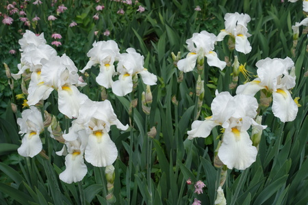 A lot of white flowers of German iris in May Imagens - 122764297