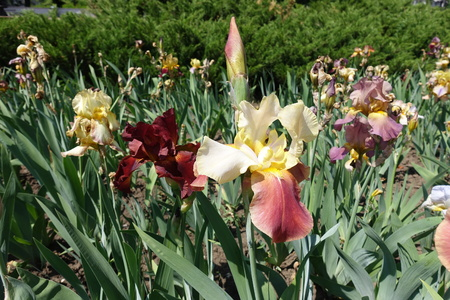 German iris with yellow and red flower
