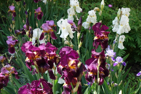 Purple, white and violet flowers of German irises