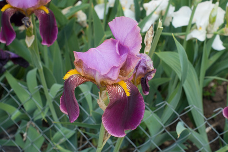 Pink and purple flower of bearded iris in May