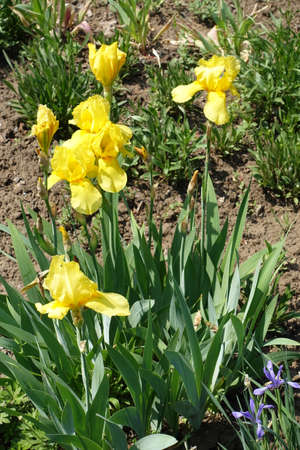 Bearded iris with bright yellow flowers in spring Imagens